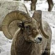 Old Big Horn Sheep Poster