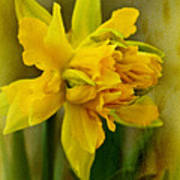 Old Fashioned Daffodil Poster