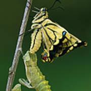 Oldworld Swallowtail Emerging Poster