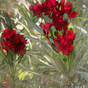 Oleander Blooms - A Touch Of Red Poster