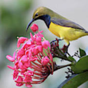 Olive-backed Sunbird Male With Flower Poster