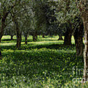 Olive Grove Color Italy Poster