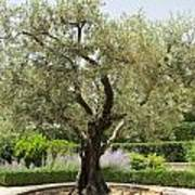 Olive Tree Poster