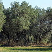 Olive Trees Of Provence Poster