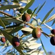 Olives (olea Europaea) On A Tree Poster