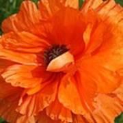 Olympia Orange Poppy Poster
