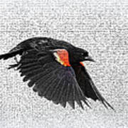 On The Wing - Red-winged Blackbird Poster