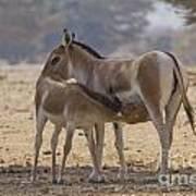 Onager Equus Hemionus 2 Poster