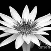 One Black And White Water Lily Poster