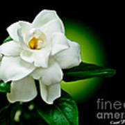 One Sensual White Flower Poster by Carol F Austin