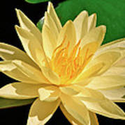 One Water Lily  Poster
