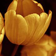 Opening Tulip Flower Golden Monochrome Poster