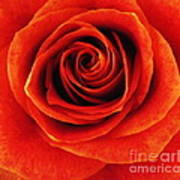 Orange Apricot Rose Macro With Oil Painting Effect Poster