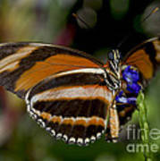 Orange Banded Butterfly Poster
