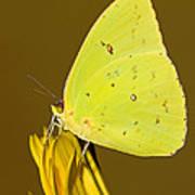 Orange Barred Sulfur Butterfly Poster