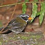 Orange-billed Sparrow Poster