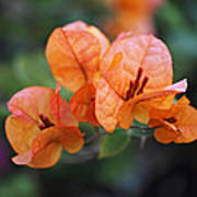 Orange Bougainvillea Poster