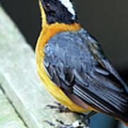 Orange Breasted Bird Portrait Poster