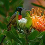 Orange-breasted Sunbird II Poster