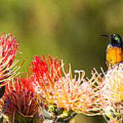 Orange-breasted Sunbird Poster