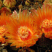 Orange Cactus Poster