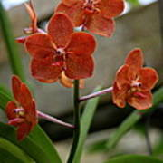 Orange Colored Orchid Poster