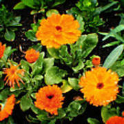Orange Country Flowers - Series I Poster