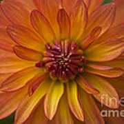 Orange Dahlia Blossom Poster