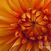 Orange Dahlia Close Up Poster