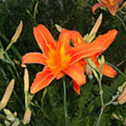 Orange Daylily Poster