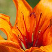 Orange Daylily Closeup Poster