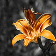 Orange Daylily Flower On Gray 3 Poster