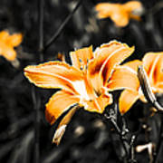 Orange Daylily Flowers On Gray 1 Poster
