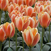 Orange Dutch Tulips Poster