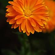 Orange Feathers Poster