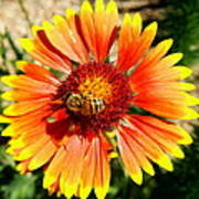 Orange Fiery Gaillardia Flower And Bee Macro Poster