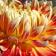 Orange Floral Art Dinner Plate Dahlia Flower Poster