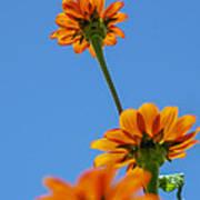 Orange Flowers On Blue Sky Poster