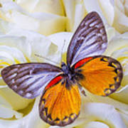 Orange Gray Butterfly Poster