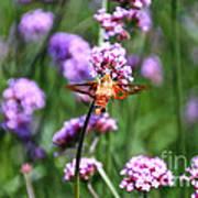 Orange Hummingbird Moth Poster