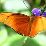 Orange Julia Butterfly Poster