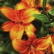 Orange Lillies Poster