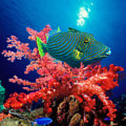 Orange-lined Triggerfish Balistapus Poster