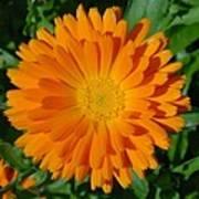 Orange Marigold Close Up With Garden Background Poster