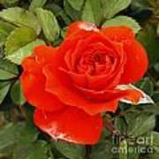 Orange Mini-rose Poster