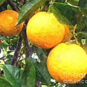 Orange On Tree Poster