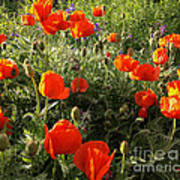 Orange Poppies In Sunlight Poster