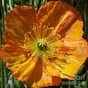 Orange Poppy Poster