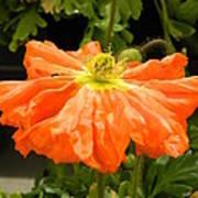 Orange Skirted Poppy  Poster