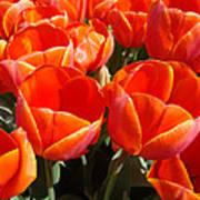 Orange Spring Tulip Flowers Art Prints Poster
